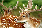 Deer At Bradgate 1