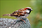 HedgeSparrow1