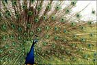 Bradgate Peacock Display 1