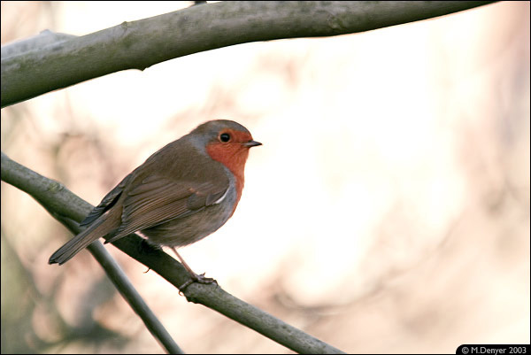 Winter Robin 1