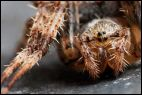 Face to Face with the Enemy (Araneus diadematus?)