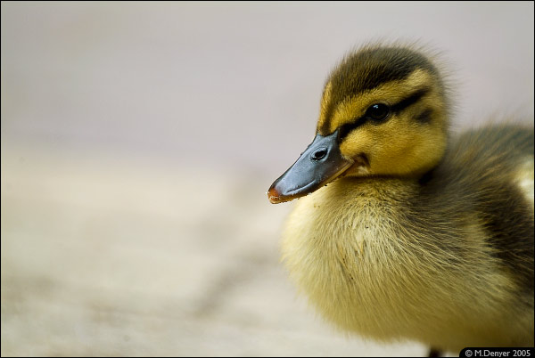 Not So Ugly Duckling