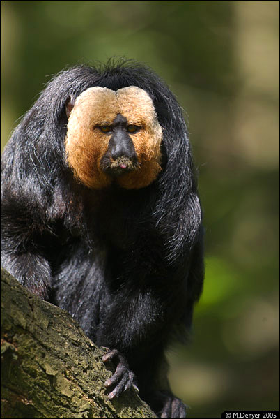 White Faced Saki 1
